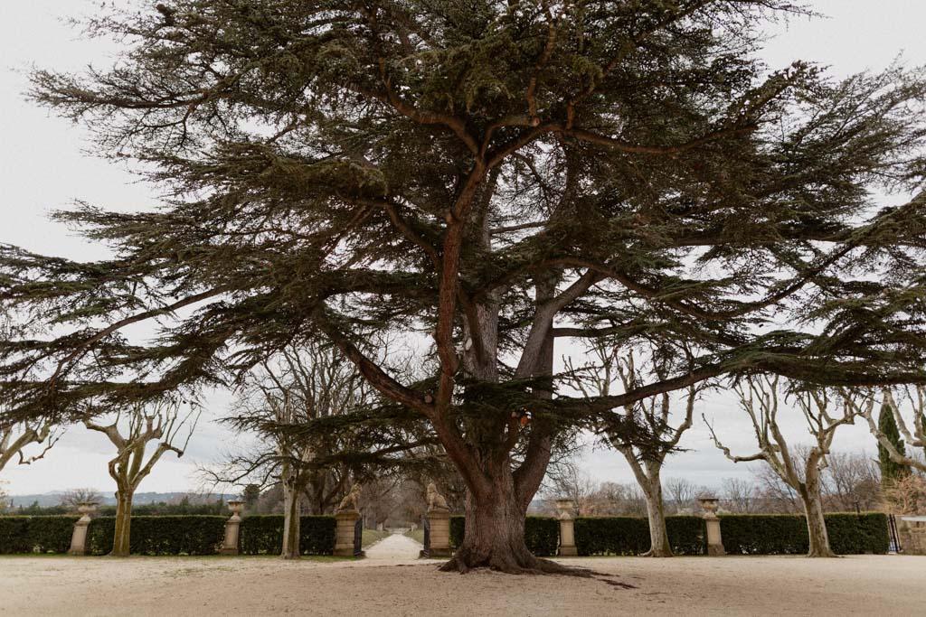 Le cèdre du Liban centenaire du Château d'Alphéran près d'Aix en Provence